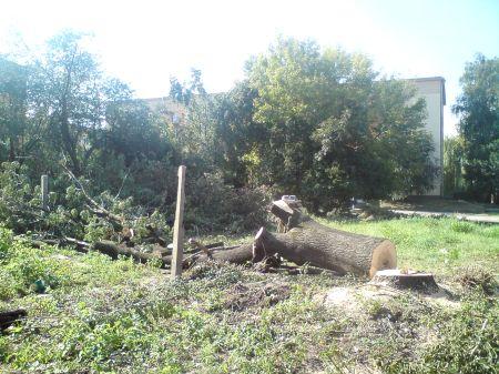 Radom. Ścinka drzew na ul. Mariackiej